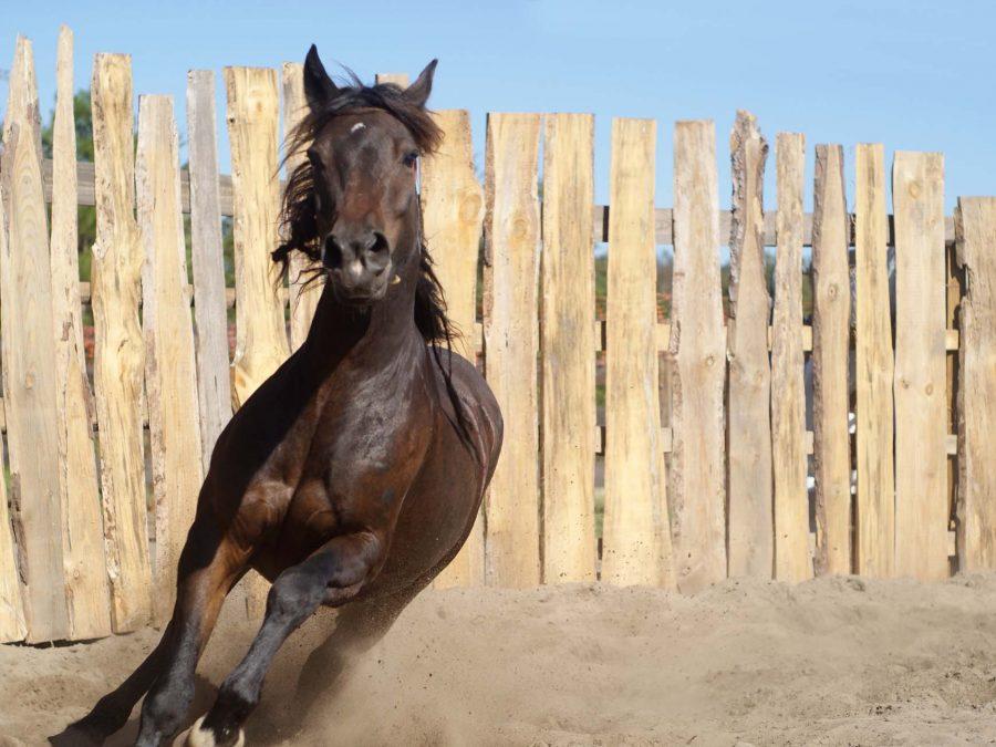 Wilder Mustang